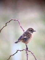 Stonechat @ Castle Hill LNR, UK