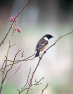 Stonechat @ Amberley Wildbrooks, UK
