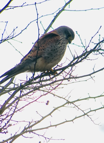 Kestrel @ Lingfield, UK