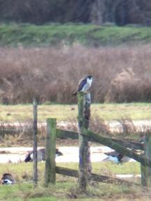 Peregrine Falcon @ RSPB Pulborough Brooks, UK