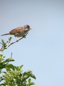 Whitethroat @ RSPB Dungeness, UK