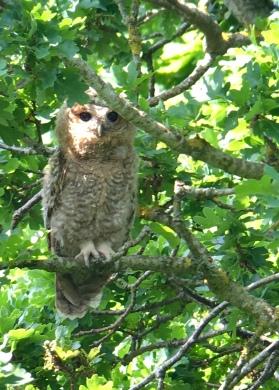 Tawny Owl @ RSPB Pulborough Brooks, UK
