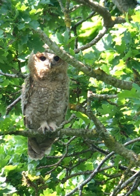 Tawny Owl @ RSPB Pulborough Brooks, UK
