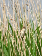 Great Reed Warbler @ RSPB Dungeness, UK