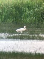 Spoonbill @ RSPB Pulborough Brooks, UK