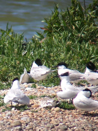 Sandwich Tern @ Rye Harbour, UK