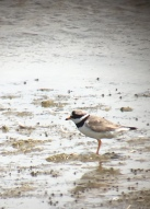 Ringed Plover @ Rye Harbour, UK