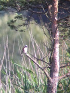 Red-backed Shrike @ Thursley NNR, UK