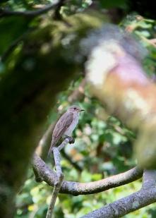 Spotted Flycatcher @ RSPB Pulborough Brooks, UK