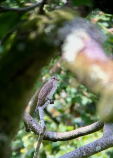 Spotted Flycatcher @ RSPB Pulborough Brooks, UK