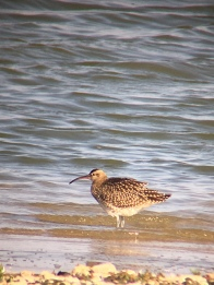 Whimbrel @ RSPB Dungeness, UK