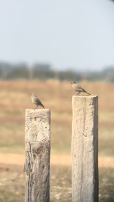 Black Redstart @ Dungeness NNR, UK