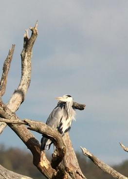 Grey Heron @ Bough Beech, UK
