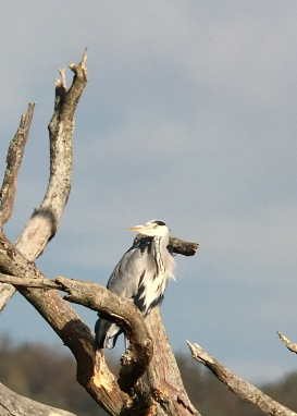 Grey Heron @ Bough Beech, UK
