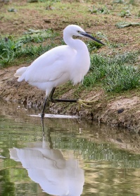 Little Egret @ Bough Beech, UK