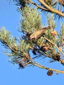 Crossbill @ The Old Lodge, Ashdown Forest, UK
